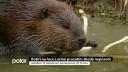 Bobři na řece Lučině prozatím škody nepůsobí